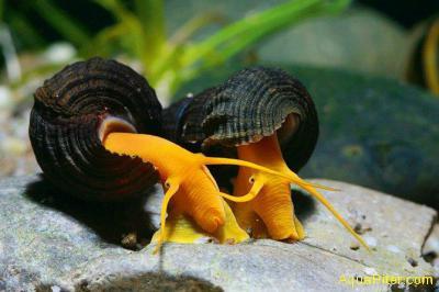Тиломелания оранжевая сулавесская Bright Orange Sulawesi Snail Tylomelania sp -S
