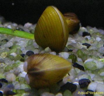 Корбикула яванская Corbicula javanicus