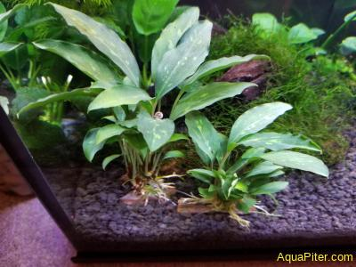 Пиптоспата Ридли (Piptospatha ridleyi)
