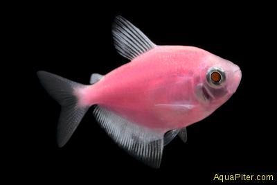 Тернеция (GloFish) РОЗОВАЯ СВЕТЯЩАЯСЯ