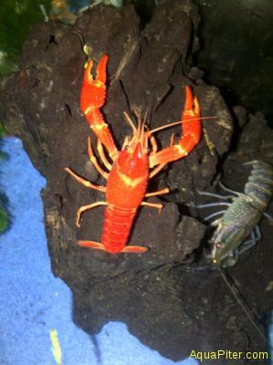 Рак Red Marlboro lobster