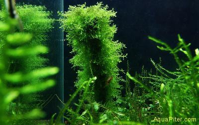 Риккардия Riccardia chamedryfolia