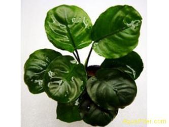 "Анубиас Бартери нана Круглый лист (Anubias barteri var. nana ""Round Leaf"")"