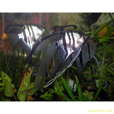 Скалярия Вуалевая, рыба-ангел (Pterophyllum scalare)