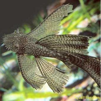 анциструс стрекоза