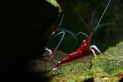 Креветка сулавесская Кардинал (Cardinal Shrimp)