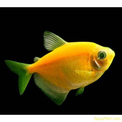 Тернеция (GloFish) ЖЕЛТАЯ СВЕТЯЩАЯСЯ