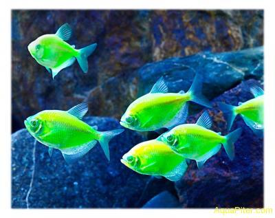Тернеция (GloFish) ЗЕЛЕНАЯ СВЕТЯЩАЯСЯ