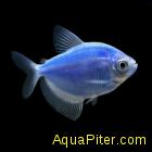 Тернеция (GloFish) СИНЯЯ