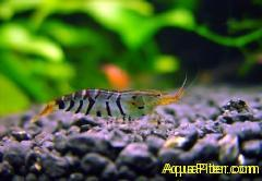 "Креветка Тигр  Caridina cantonensis sp. ""Tiger""  Tiger Shrimp"