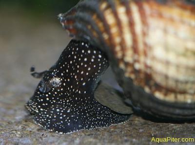 Tylomelania White Spot Rabbit Snail  Тиломелания Кролик белая точка