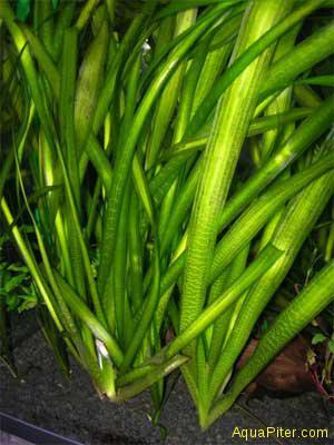 Валиснерия гигантская (Vallisneria gigantea), с грузом