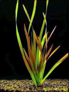 Валлиснерия спиральная Красная (Vallisneria spiralis red)