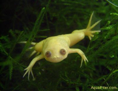 Лягушка ксенопус белая шпорцевая (Xenopus levis)