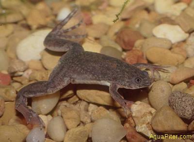Лягушка ксенопус черная (Xenopus levis)