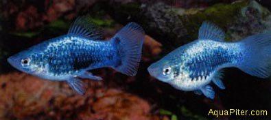 Пецилия голубая ситцеваяXiphophorus maculatus
