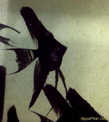 Скалярия Черная Вуалевая (Pterophyllum scalare Black)