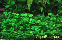 Марсилия четырёхлистная Marsilea quadrifolia
