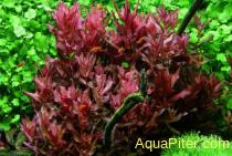 Ротала макрандра (Rotala macrandra ), меристема