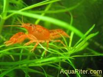 Карликовый оранжевый рак Cambarellus patzcuarensis