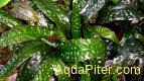 Криптокорина устериана 'Зеленая' (Cryptocoryne usteriana 'Green')