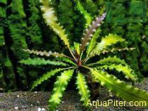 Апоногетон пилапини Aponogeton rigidifolius var.pilapini