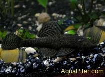 Анциструс обыкновенный (Ancistrus dolichopterus), M