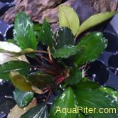 Буцефаландра Зеленая Широкий лист  Green Broad Leaf Navy
