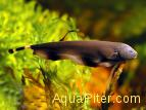 Рыба-нож (Apteronotus albifrons)