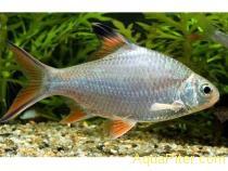 Барбус лещевидный краснохвостый (Barbus schwanwnfeldii)