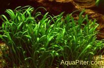 Лилеопсис Брасилиенсис (меристемное растение)