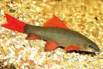 Лабео зеленый (Epalzeorhynchos frenatus), M