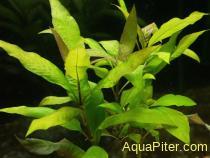 "Гигрофила ""Вишневый лист"" (Hygrophila ""Cherry leaf"")"