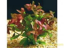 Гигрофила розанервис (Hygrophila 'Rosa Nervis')
