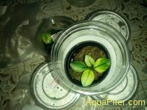 Анубиас белый широколистный Anubias nana Broad White