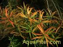 Людвигия дугообразная (Ludwigia arcuata), с грузом