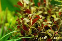 """Людвигия перуанская """"Даймонд"""" (Ludwigia peruensis diamond)"""