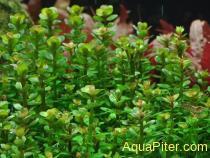 Ротала Бонсай (Ammania sp. 'bonsai'), меристема