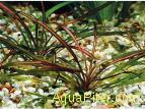 Эхинодорус рубра (Echinodorus tenellus rubra), с грузом