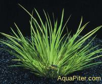 Акорус пузиллюс (Acorus pusillus)