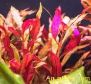 Альтернатера кардинальская (Alternanthera cardinalis)
