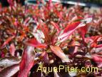 Альтернантера Бетцика красная (Alternanthera ficoidea bettzickiana Red)