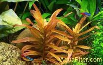 Аммания изящная Ammania gracilis