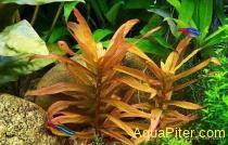 Аммания грацилис (Ammania gracilis)