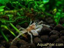 Краб-паучок Llimnopilos naiyanetri