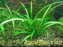 Сагитария субулата Sagittaria subulata