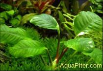 Анубиас Бартера кофейнолистный (Anubias barteri var. coffeefolia)