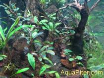 Буцефаландра Bucephalandra sp.