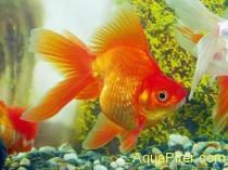 Золотая рыбка Риукин красный (Carassius auratus var.)
