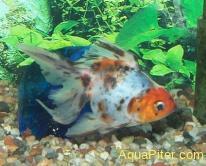 Золотая рыбка Риукин ситцевый (Carassius auratus var.)